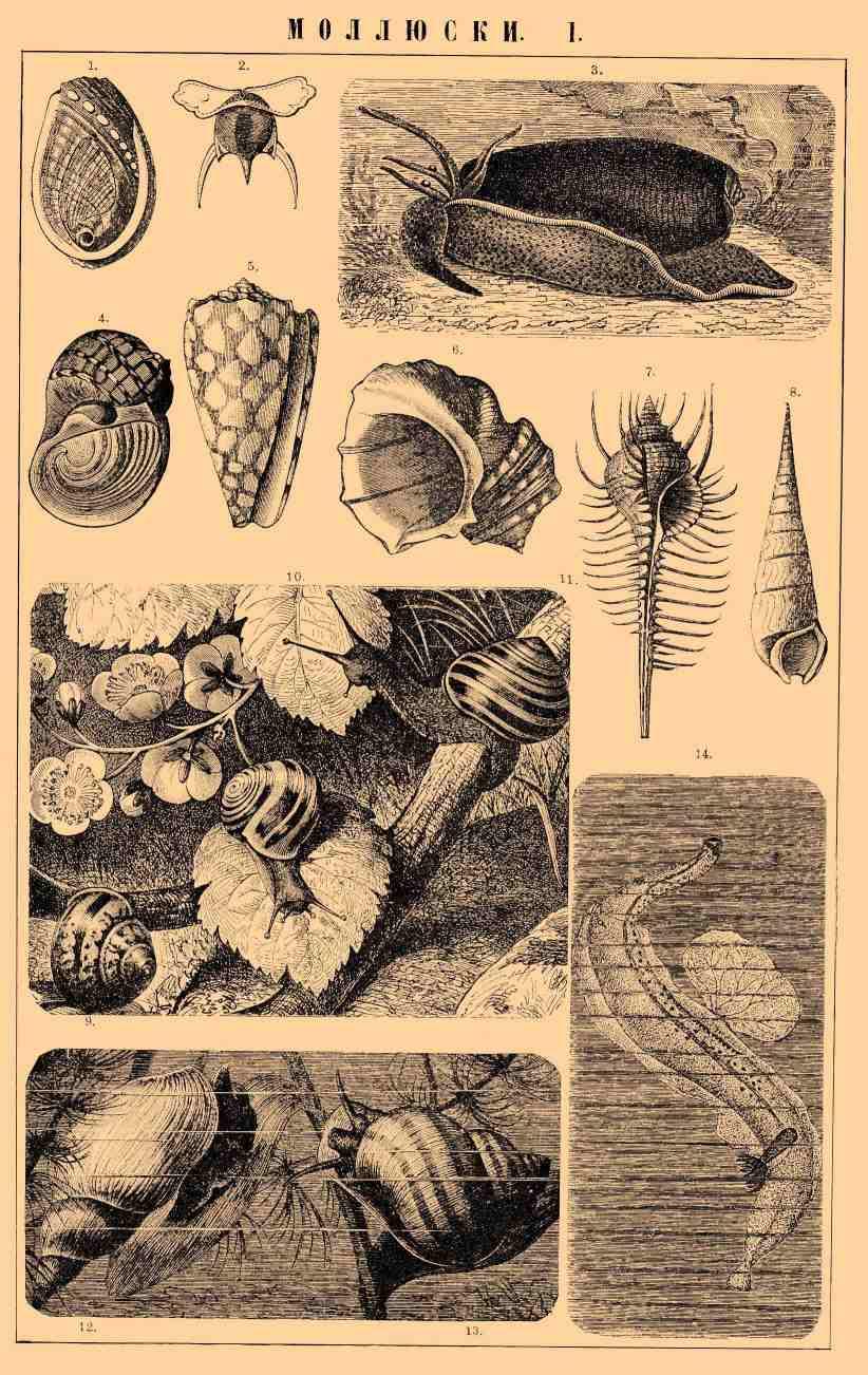 Моллюски*